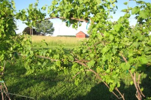 cropped Plum Run's Vineyard