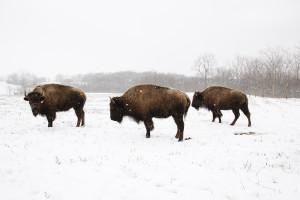 Bison, Battelle Darby Metro Park
