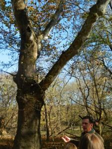 Scioto Grove Sycamore Tree