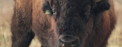 National Bison Day Event Photo