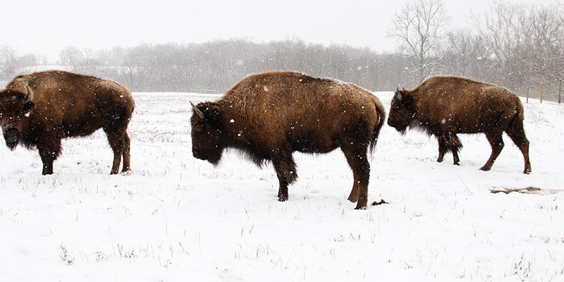 Battelle Darby Creek Bison 2